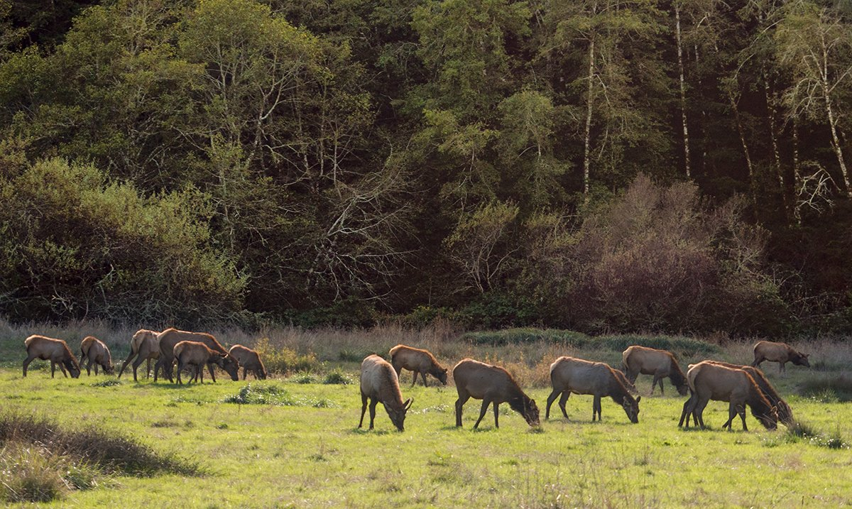 Elk Grazing, Humboldt County, CA (c) Russell Johnson