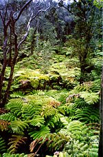 Ferns, Big Island of Hawaii