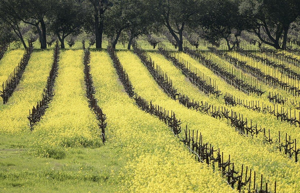 Mustard growing between the vines, Sonoma