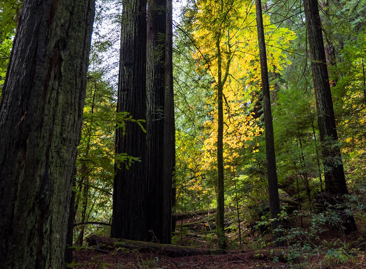 Video: California's Redwood Forests