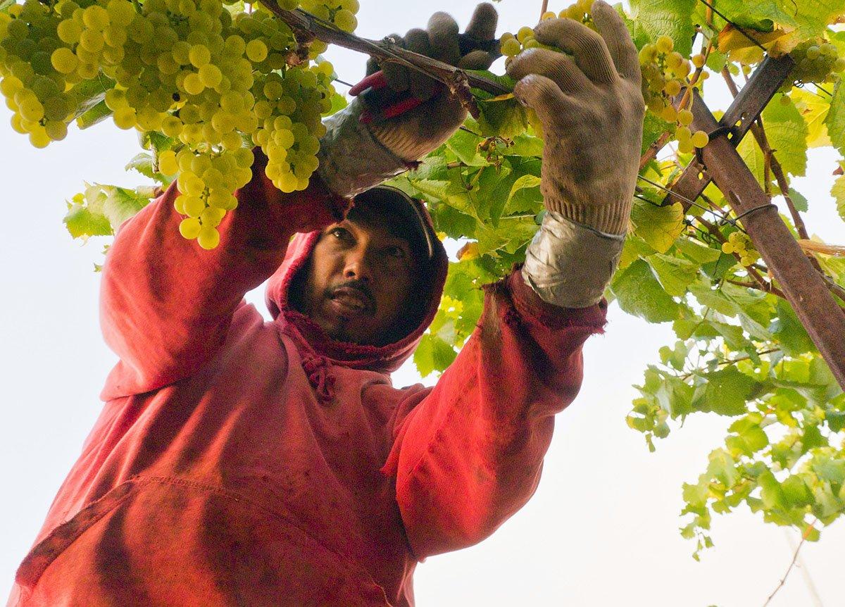 Grape Picker - Sonoma