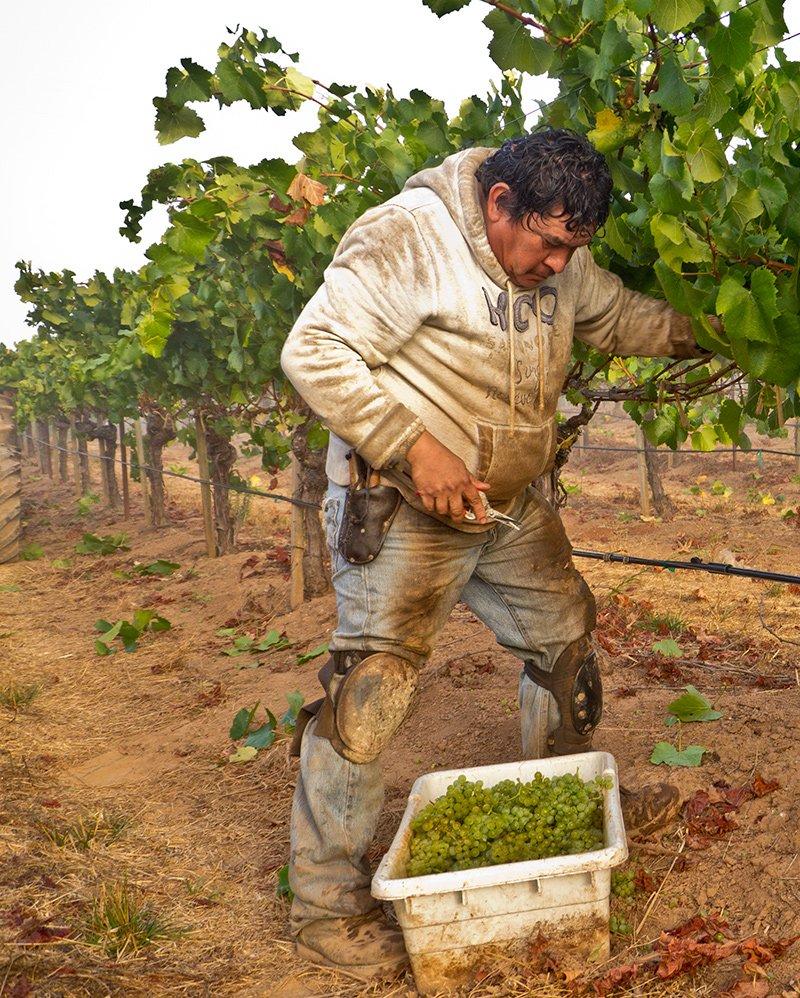 Grape Harvest - Sonoma
