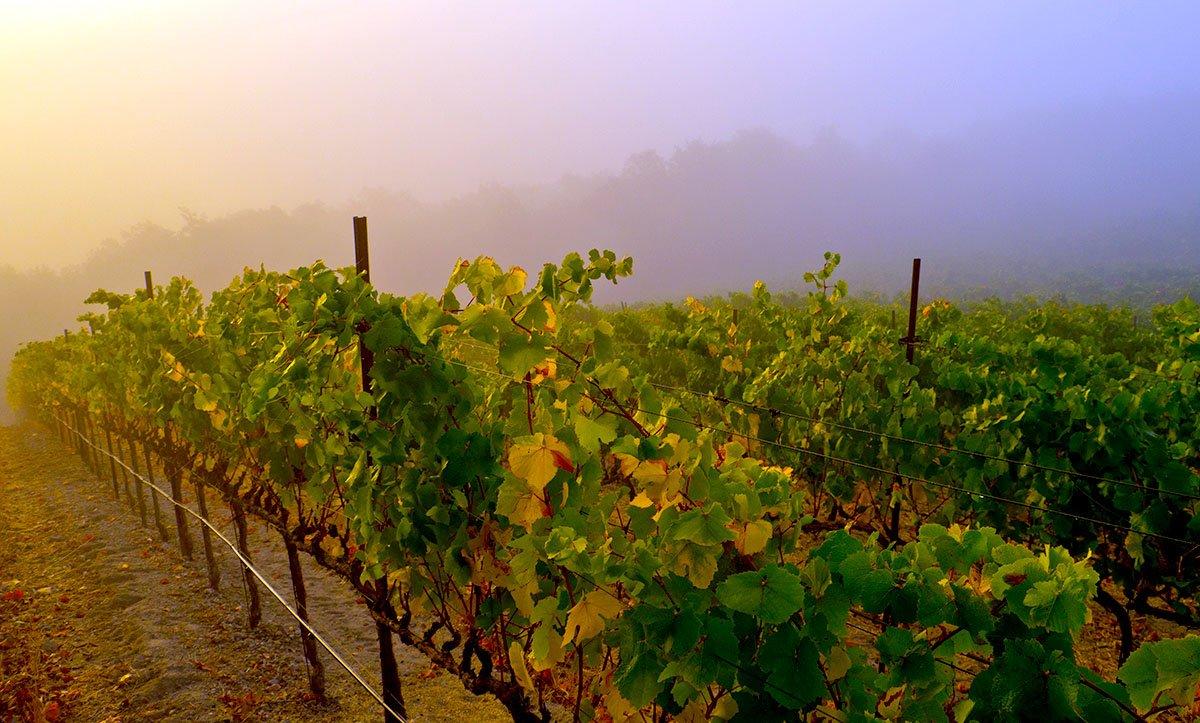 Vines in Fog - Sonoma