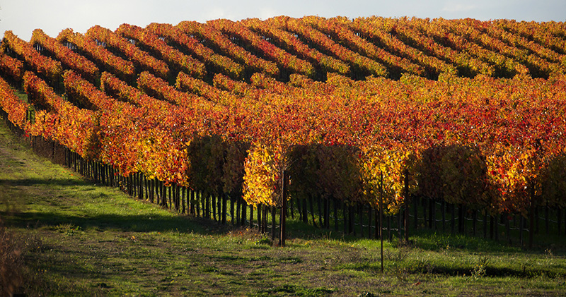 Carneros Grapevines