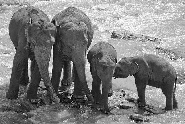 Elephant Threesome Sri Lanka