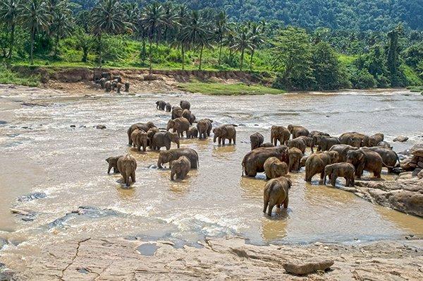 Elephants in River - Pinnewela, Sri Lanka