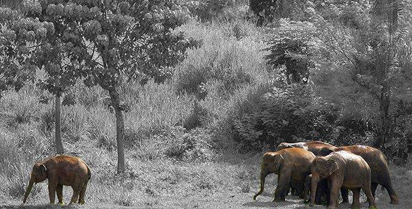 Wild Elephants, Sri Lanka