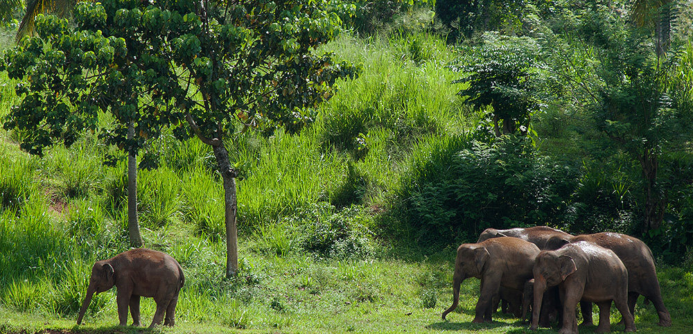 Elephants - Sri Lanka