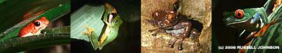 Monteverde frogs