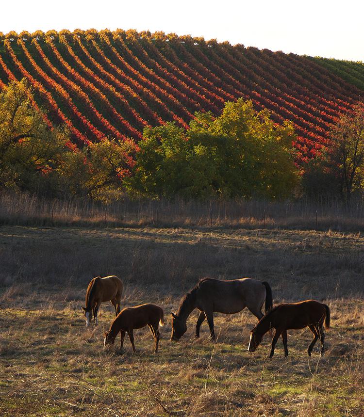 Horses Carneros