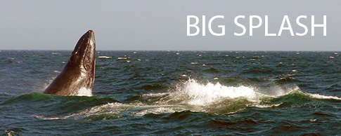 Whale breaching near Gloucester, Mass