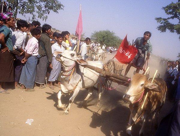 Bull Cart Race - Burma