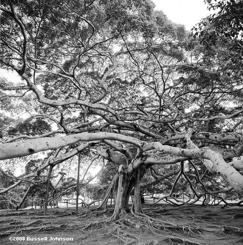 Giant Ficus Sri Lanka