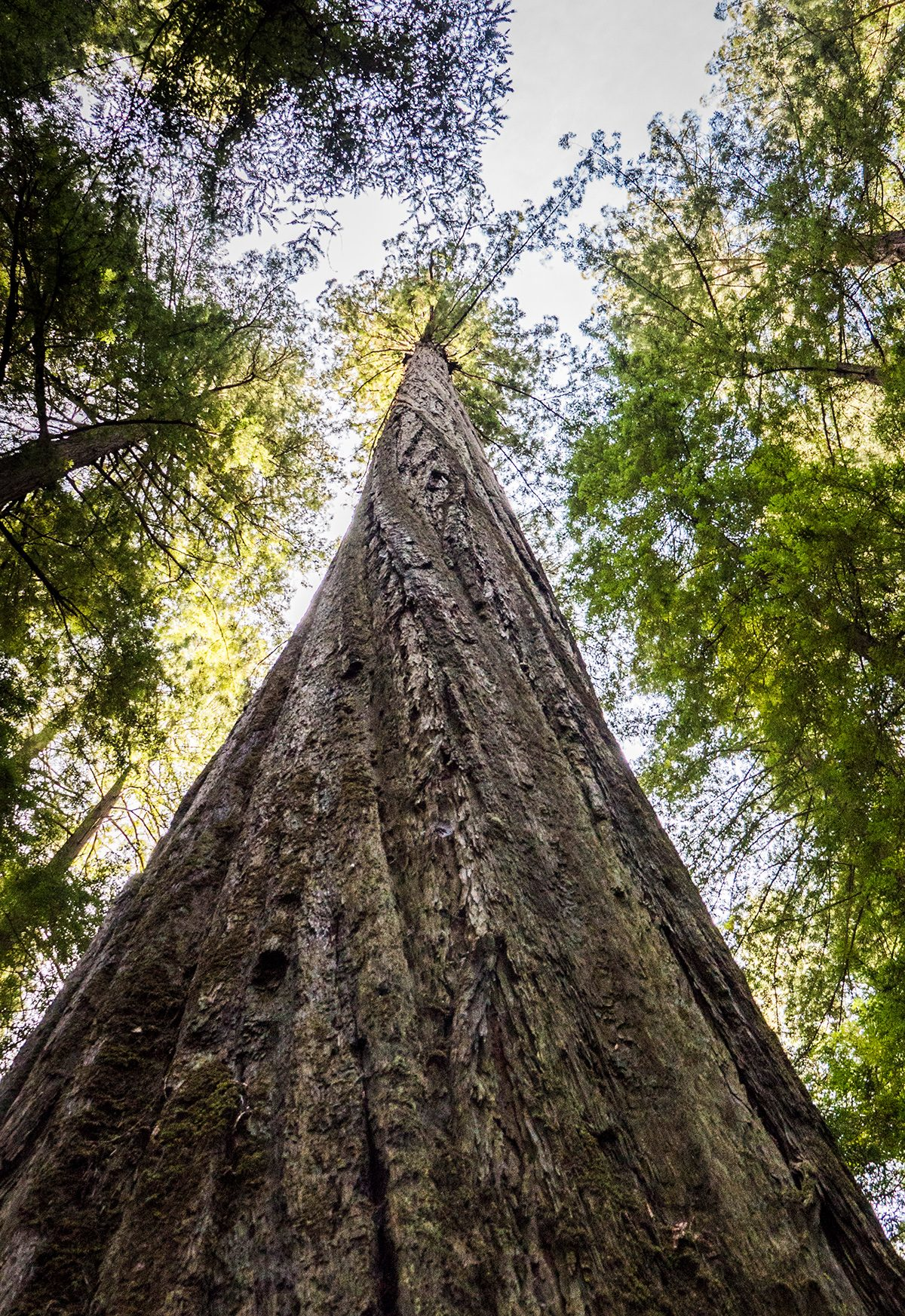 Looking for the World's Tallest Tree: Humboldt County, California