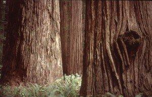 Stout Grove Redwoods
