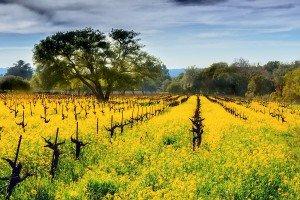 Mustard in the Vineyards - Sonoma, California