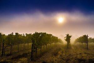 Sonoma Vines at Sunrise