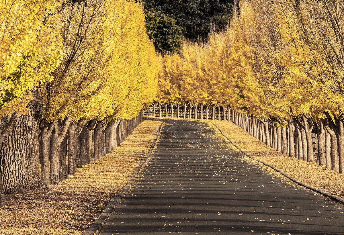 Fall Colors - Far Niente Road, Napa Calif