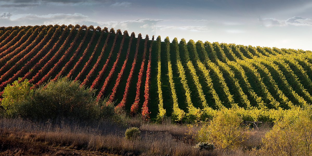 Red and Green Vines, Sonoma
