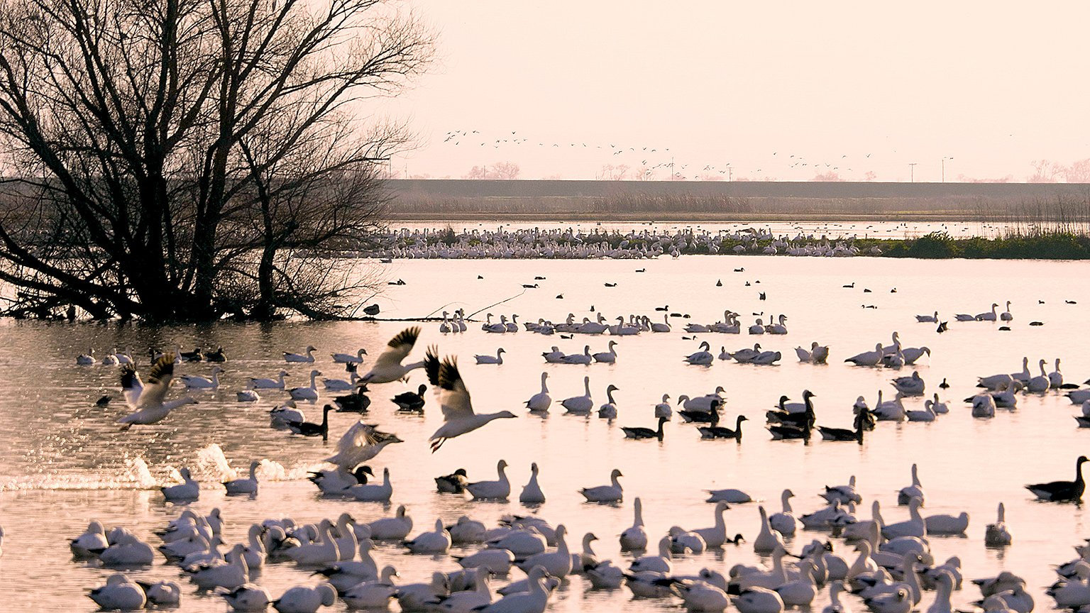 Video: It Takes a Gaggle, Winter Vacation With Snow Geese